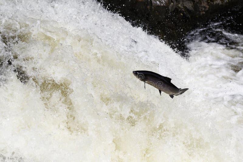Saumons atlantiques écossais sauvages sautant sur la cascade photos libres de droits