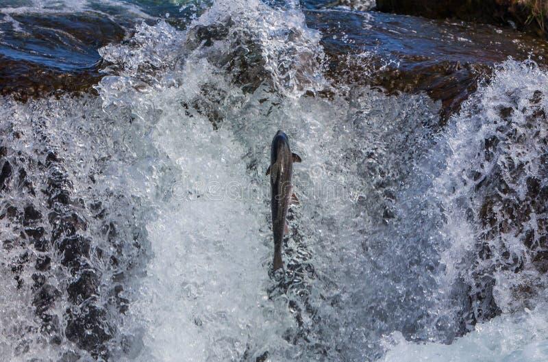 Saumons atlantiques sauvages image stock