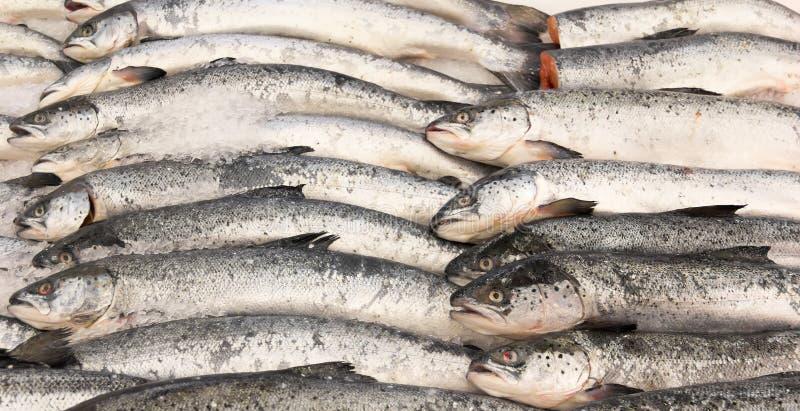 Saumons de poissons image libre de droits