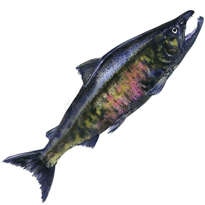 Saumons Pacifiques de copain, poissons pêchés frais d'isolement, illustration d'aquarelle illustration libre de droits