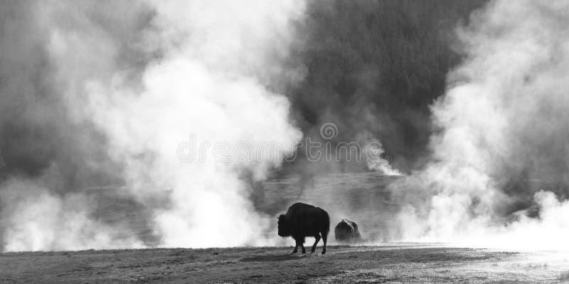Sauna del búfalo imagenes de archivo
