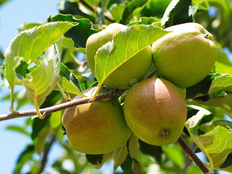 saure Apfelfrucht lizenzfreie stockbilder