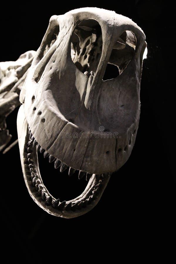 Free Sauropod Type Dinosaur Fossil Skull Stock Photography - 190730292