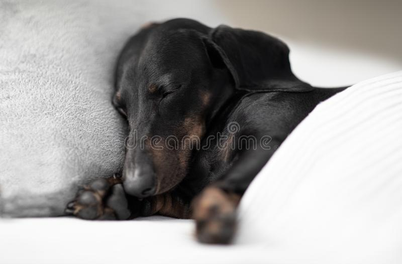 Dog sick , ill or sleeping. Sausage dachshund dog  sleeping under the blanket in bed the  bedroom, ill ,sick or tired, sheet covering its body royalty free stock images
