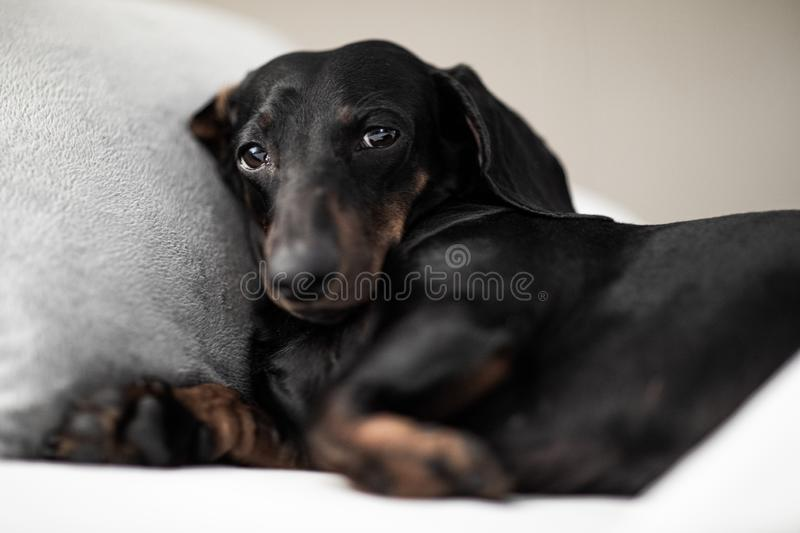 Dog sick , ill or sleeping. Sausage dachshund dog  sleeping under the blanket in bed the  bedroom, ill ,sick or tired, sheet covering its body stock images
