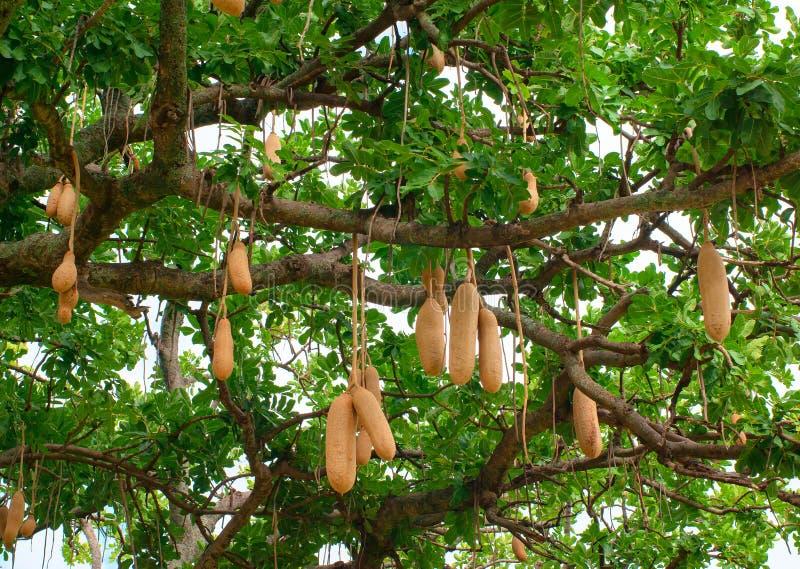 Sausage tree fruit royalty free stock image
