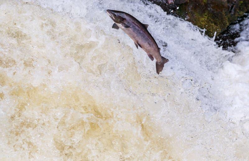Saut des saumons atlantiques sauvages photo libre de droits