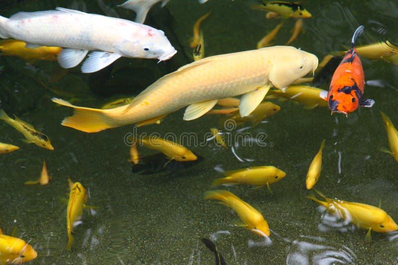 Sauter décoratif lumineux de poissons de l'étang, Singapour images libres de droits