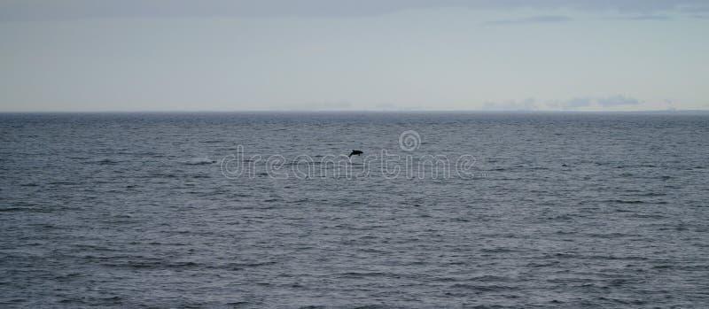 Sauter de dauphin de l'eau dans Cabo obstiné, Chili photo libre de droits