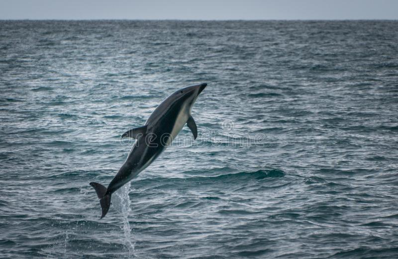 Sauter de dauphin de l'eau en tournée de montre de baleine de Kaikoura photos stock