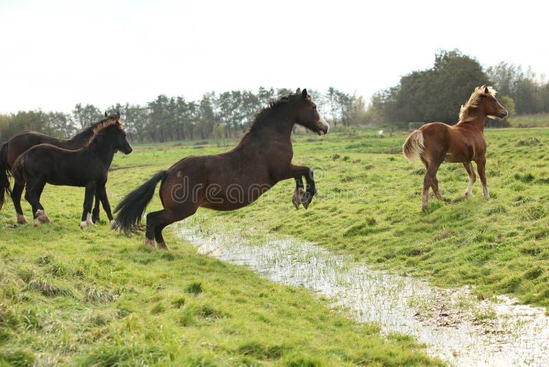 Sauter de jument de poney de gallois photos libres de droits