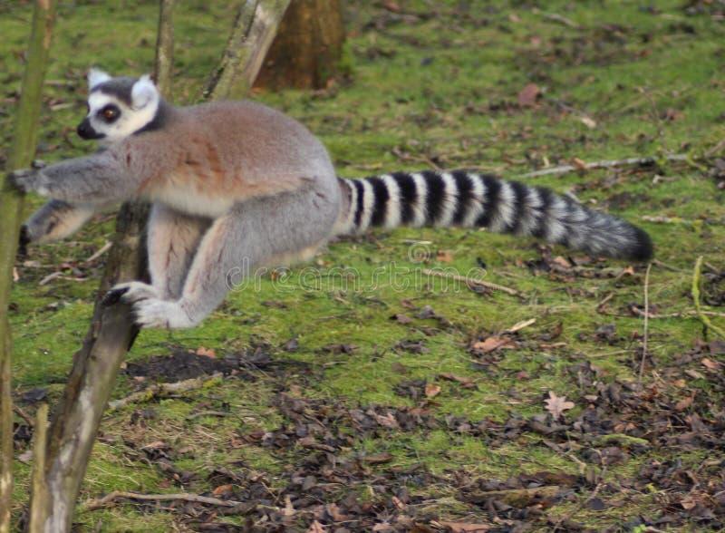 Sauter de lémur coupé la queue par anneau photos libres de droits