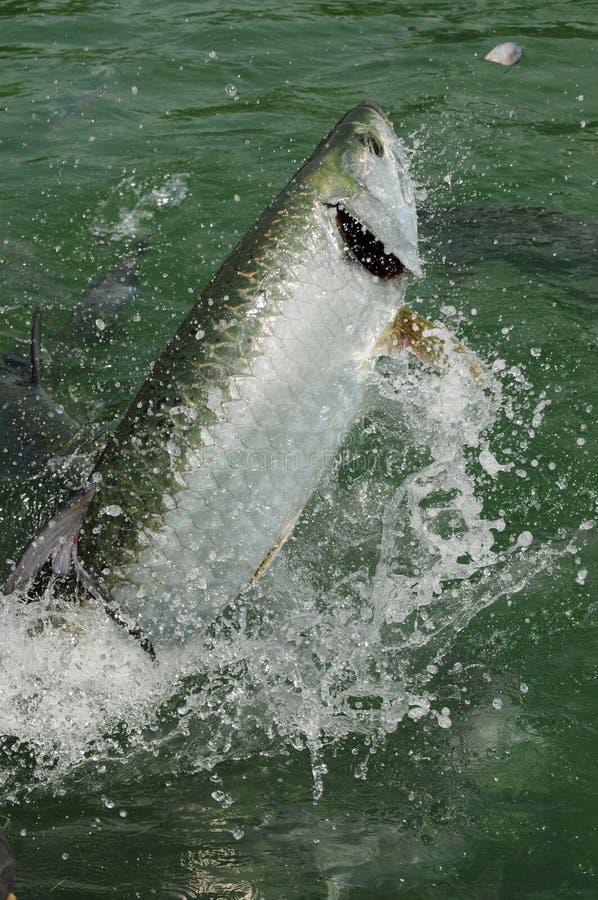 Sauter de poissons de tarpon de l'eau images libres de droits
