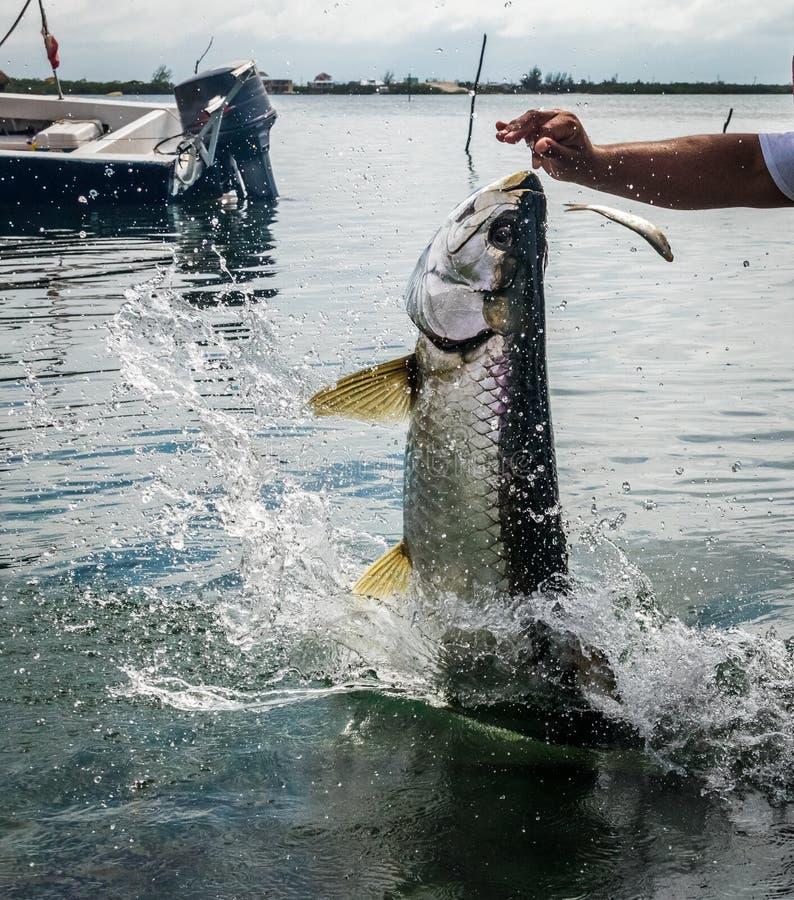 Sauter de poissons de tarpon de l'eau - matoir de Caye, Belize image libre de droits