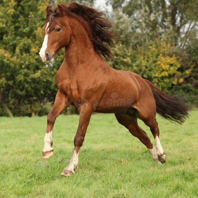 Sauter gentil d'étalon de poney de gallois de châtaigne images stock