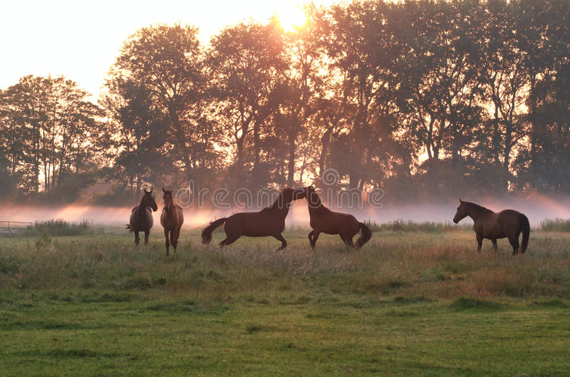 Sauter jouant des chevaux en brouillard de lever de soleil photos stock