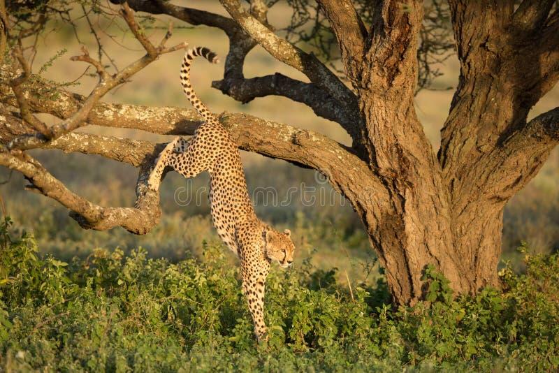 Sauter masculin de guépard d'un arbre dans le Serengeti, Tanzanie images libres de droits