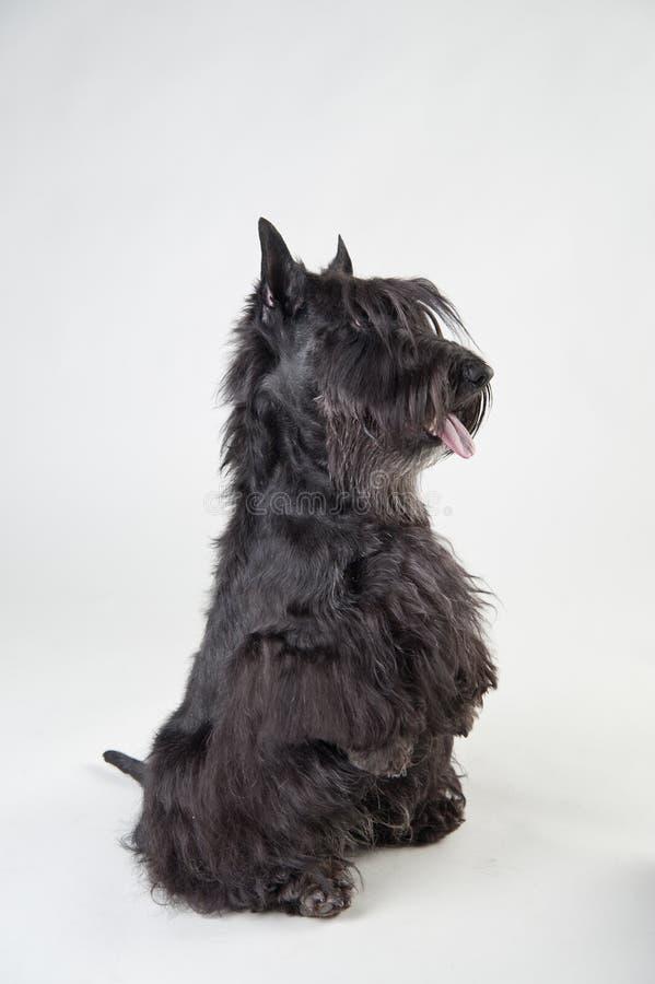 Sauter priant Terrier écossais sur le fond blanc images stock