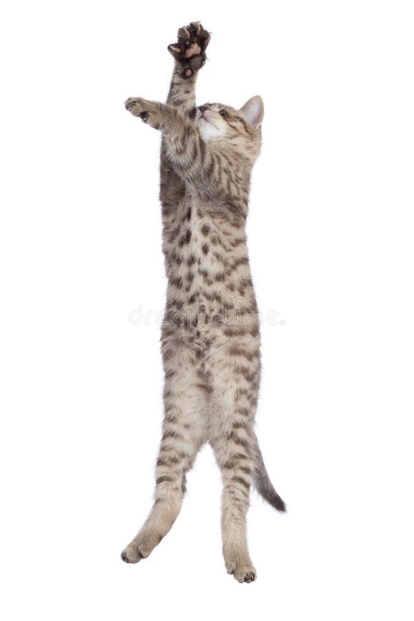 Sauter pur de race de chaton écossais rayé de chat d'isolement images libres de droits