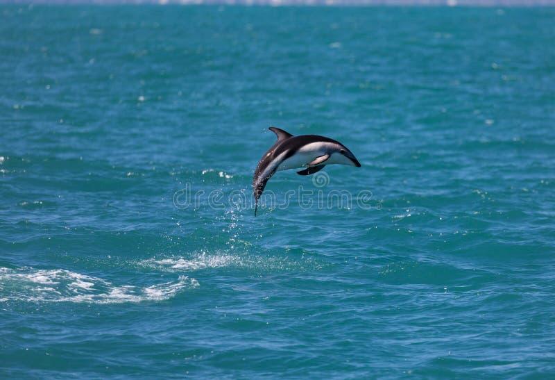 Sauter sombre d'obscurus de Lagenorhynchus de dauphin de l'eau près de Kaikoura, Nouvelle-Zélande images libres de droits