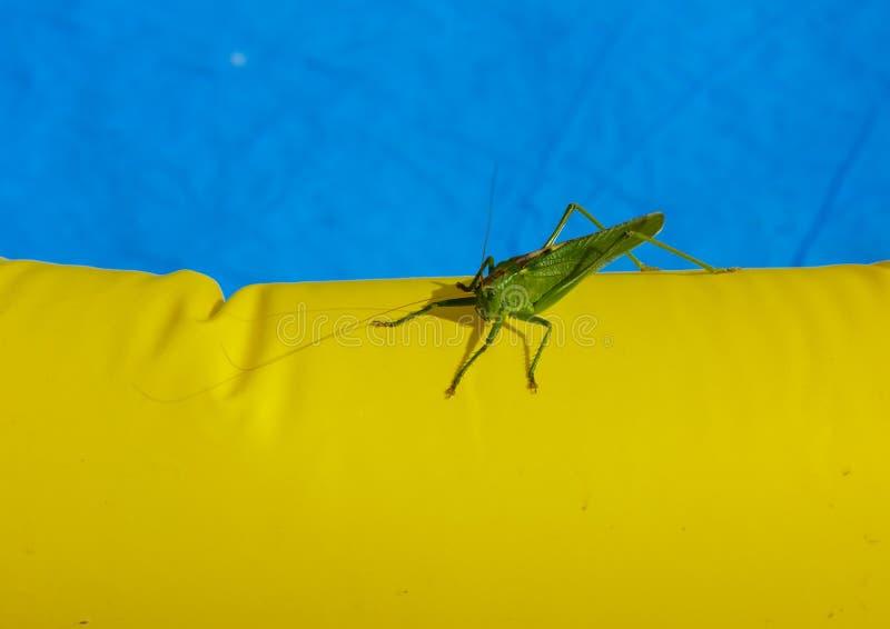 Sauterelle au bord de la piscine des enfants image libre de droits
