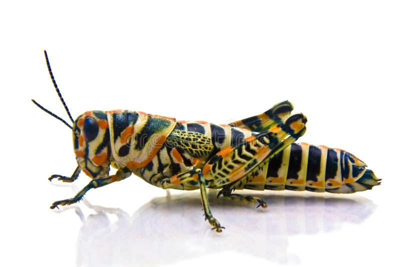 sauterelle colorée image stock