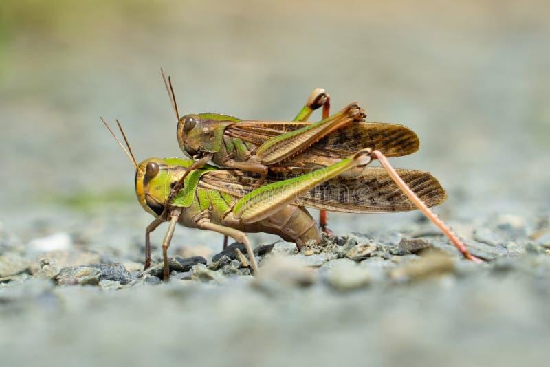 Sauterelle dans l'acte de la reproduction sexuelle sur la terre photographie stock libre de droits