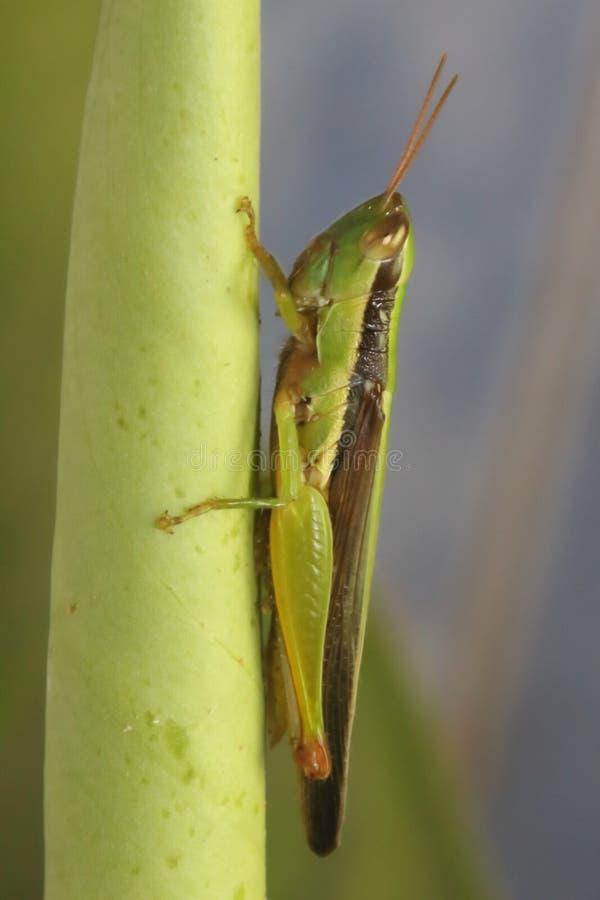 Sauterelle dans la feuille verte image stock
