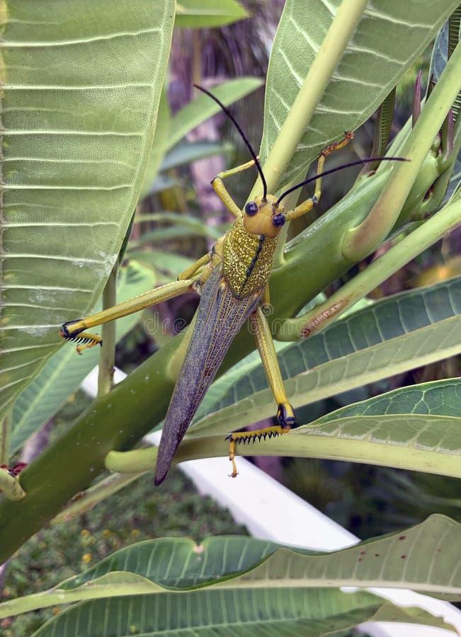 Sauterelle de cricket de sauterelle sur les feuilles vertes photos libres de droits