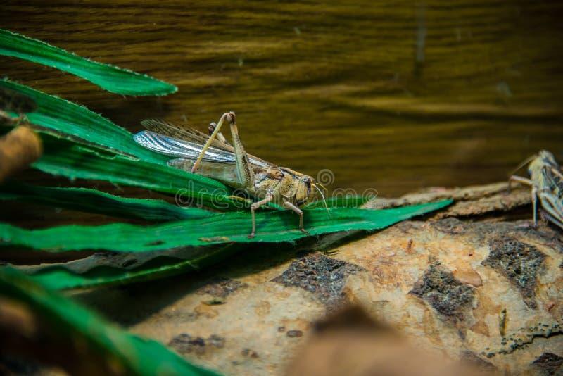 Sauterelle migratrice/sauterelle avec les feuilles vertes image stock
