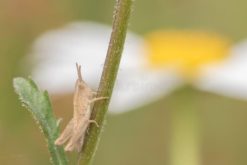 Sauterelle minuscule sur une tige de fleur image stock