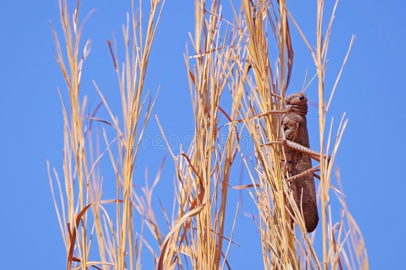 Sauterelle rouge de Brown, Acritidae, sauterelle court-à cornes sur un champ de maïs agricole, Chapada Dos Guimaraes, Brésil photos libres de droits