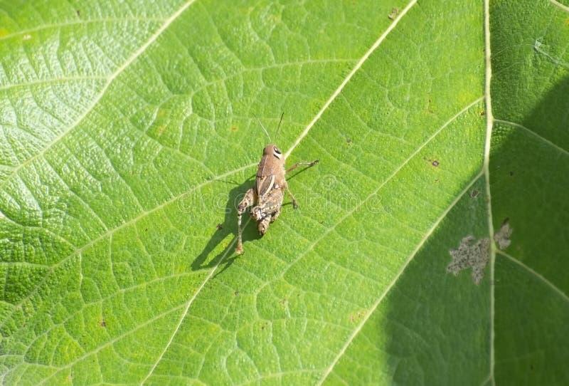 Sauterelle se reposant sur la feuille de vert d'arbre de teck dans la forêt images libres de droits