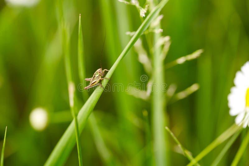 Sauterelle sur l'herbe verte images stock