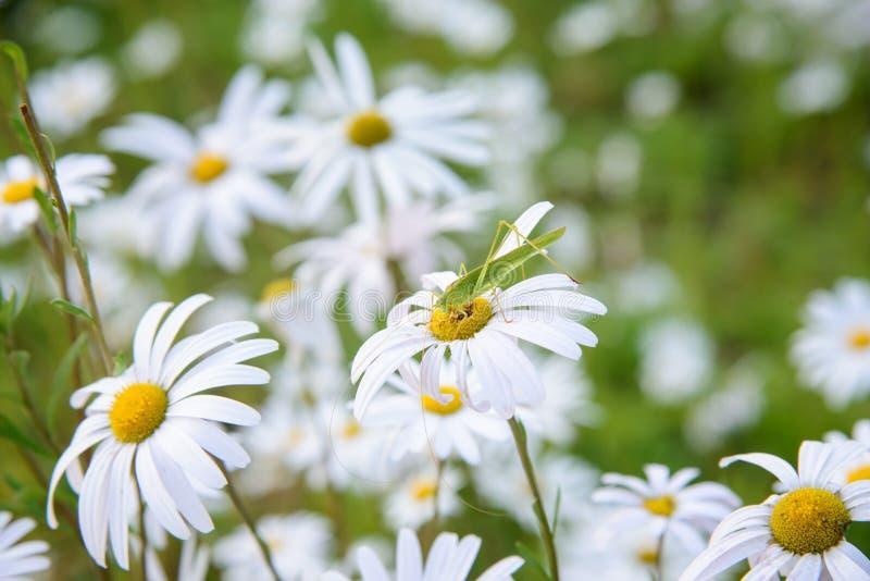 Sauterelle sur une fleur photo stock