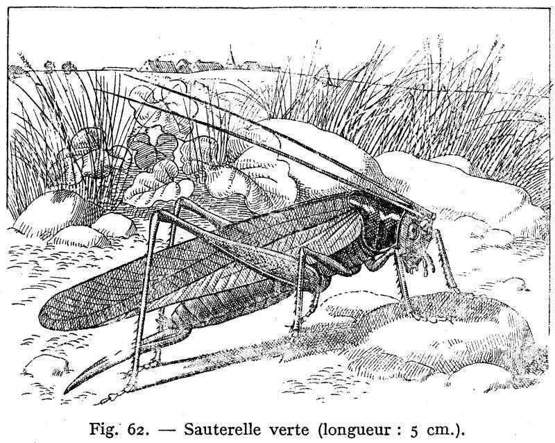 Sauterelle Verte Free Public Domain Cc0 Image