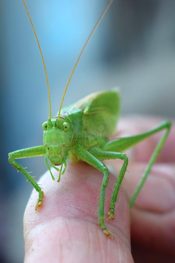 Sauterelle verte en gros plan sur un doigt avec de grands yeux photographie stock