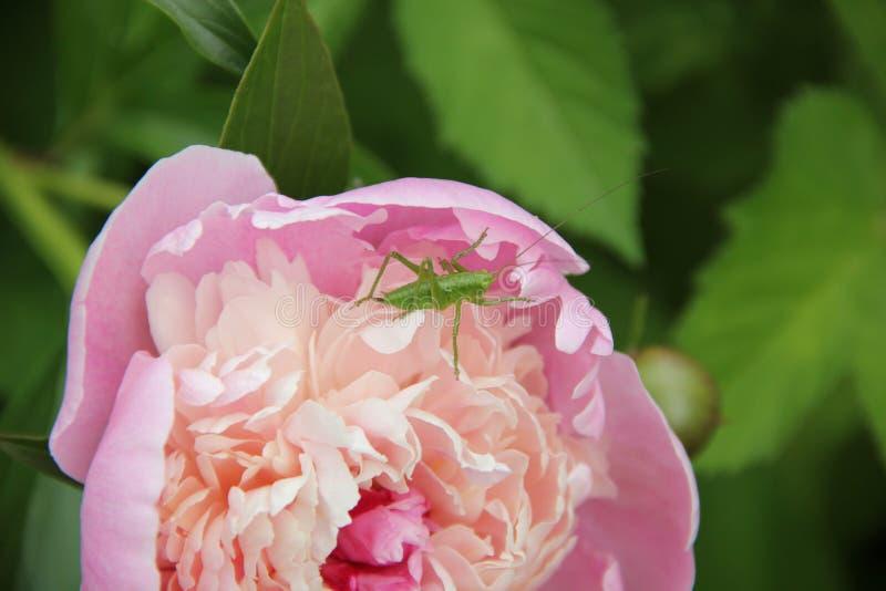 Sauterelle verte sur la pivoine rose-clair image stock