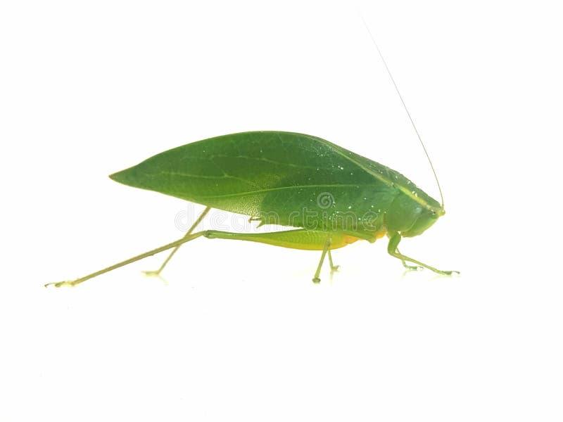 Sauterelle verte sur le fond blanc photos stock