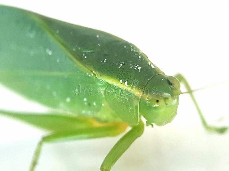 Sauterelle verte sur le fond blanc image libre de droits