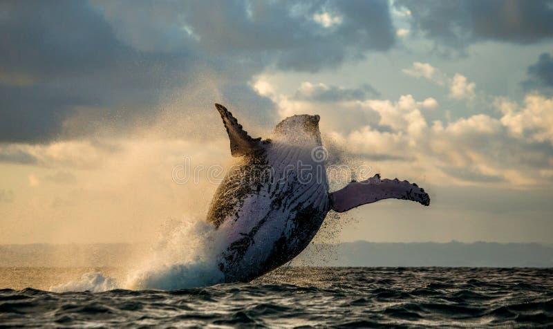 Sautez dans le ciel Sautez la baleine de bosse photo stock