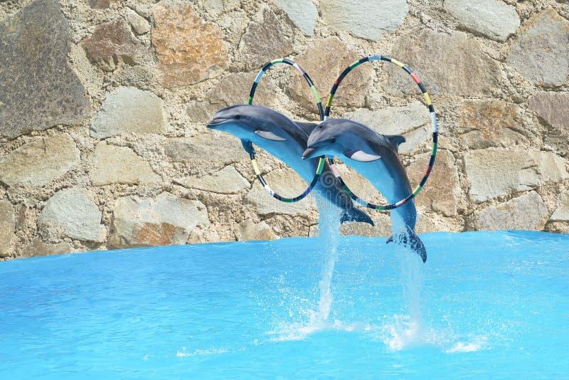 Sautez le grands dauphin de bottlenose deux et x28 ; lat Truncatus& x29 de Tursiops ; par le cercle au-dessus de l'eau sur le mur photo stock
