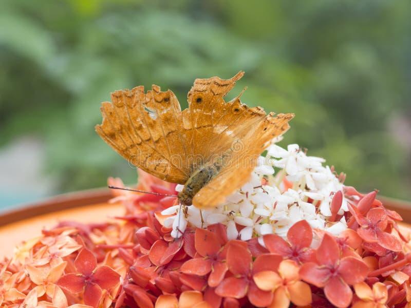 Download Sauvez La Prévision De Téléchargement Un Papillon Brun D'or Dans Le Jardin De Papillon Du Beau Parc De Miniature De L'Indonésie Image stock - Image du frais, beau: 87707801
