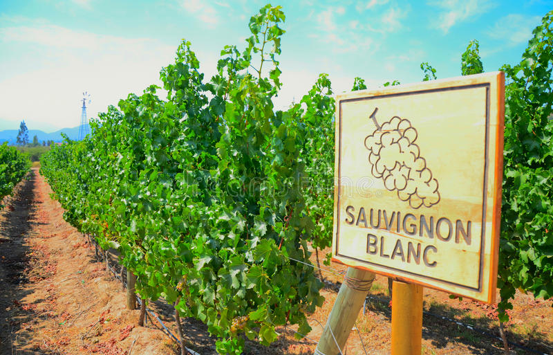 Sauvignon Blanc obrazy royalty free