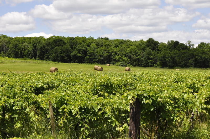 Sauvignon Blanc Orchards. Earthy grape vine orchards with hay bale field stock image