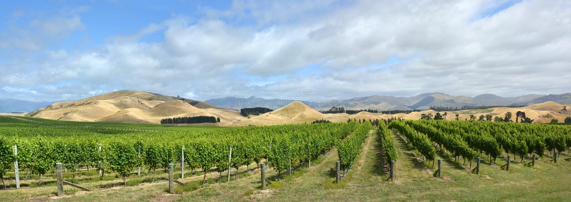 Sauvignon Blanc-Weinreben in Awatere-Tal Marlborough neues Ze lizenzfreie stockfotografie
