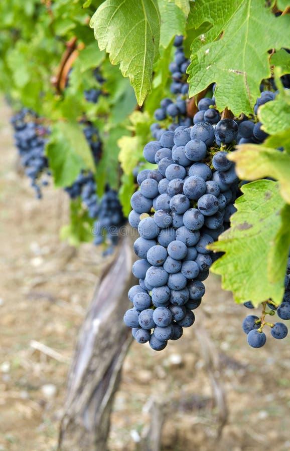 Sauvignon-Rotwein-Trauben auf der Rebe #1 lizenzfreie stockfotos