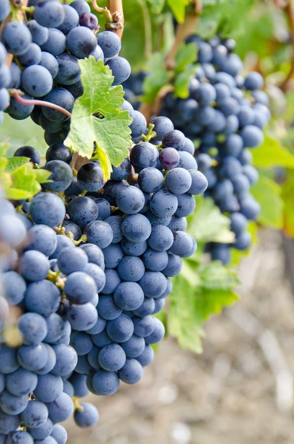 Sauvignon-Rotwein-Trauben auf der Rebe #3 lizenzfreie stockfotografie