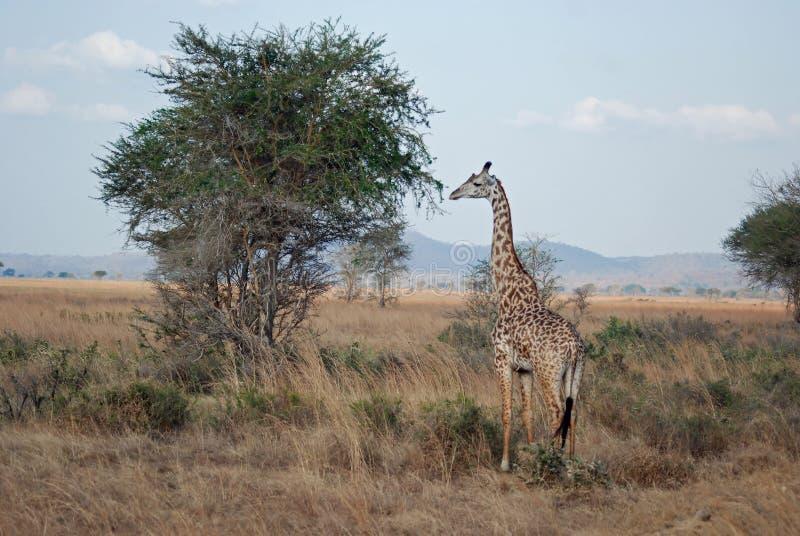 Savana africano com Giraffe do Masai - árvore da acácia imagens de stock royalty free
