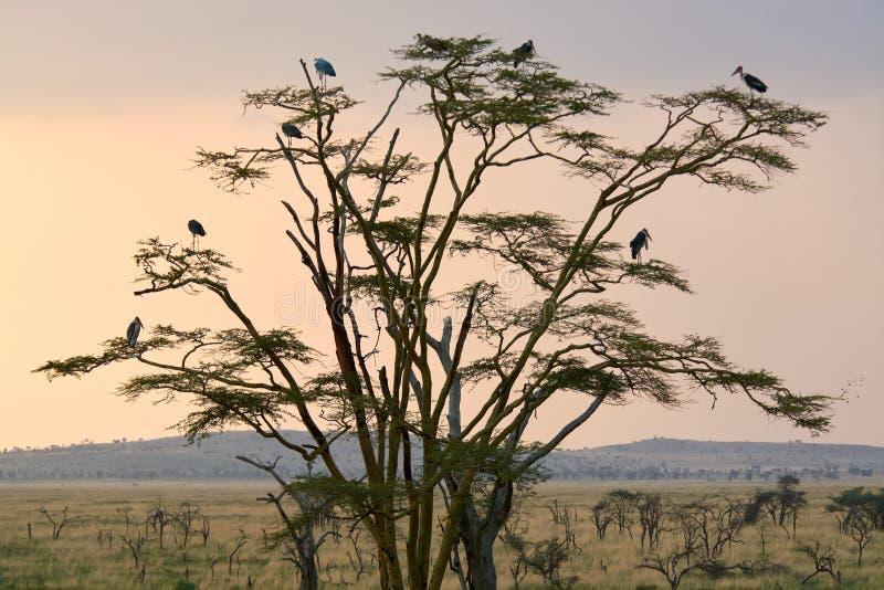 Savana de Tanzania del árbol de Birding imagen de archivo libre de regalías